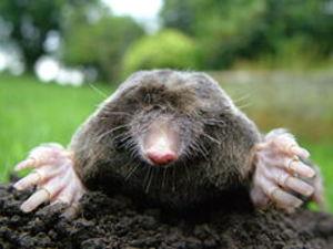 240pxcloseup_of_mole